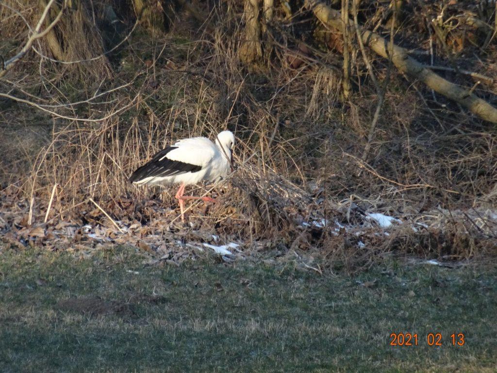 Idén is megérkezett Suri, a vassurányi gólya
